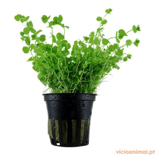 Micranthemum umbrosum 1